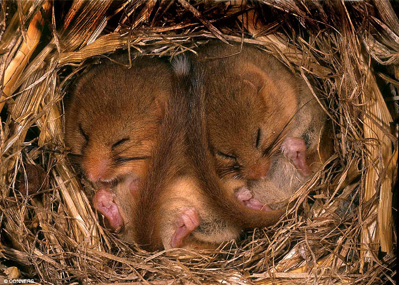 Dormice-hibernate