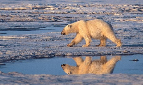 Melting Ice Caps Polar Bears Polar-bear-melting-arctic-007