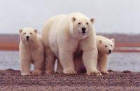 Polar-bearslg