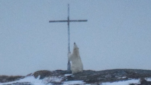 Praying-polar-bear